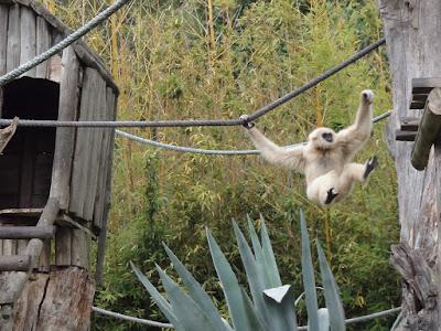 En gabbon-ape som kaster seg fra et tau til en platting.