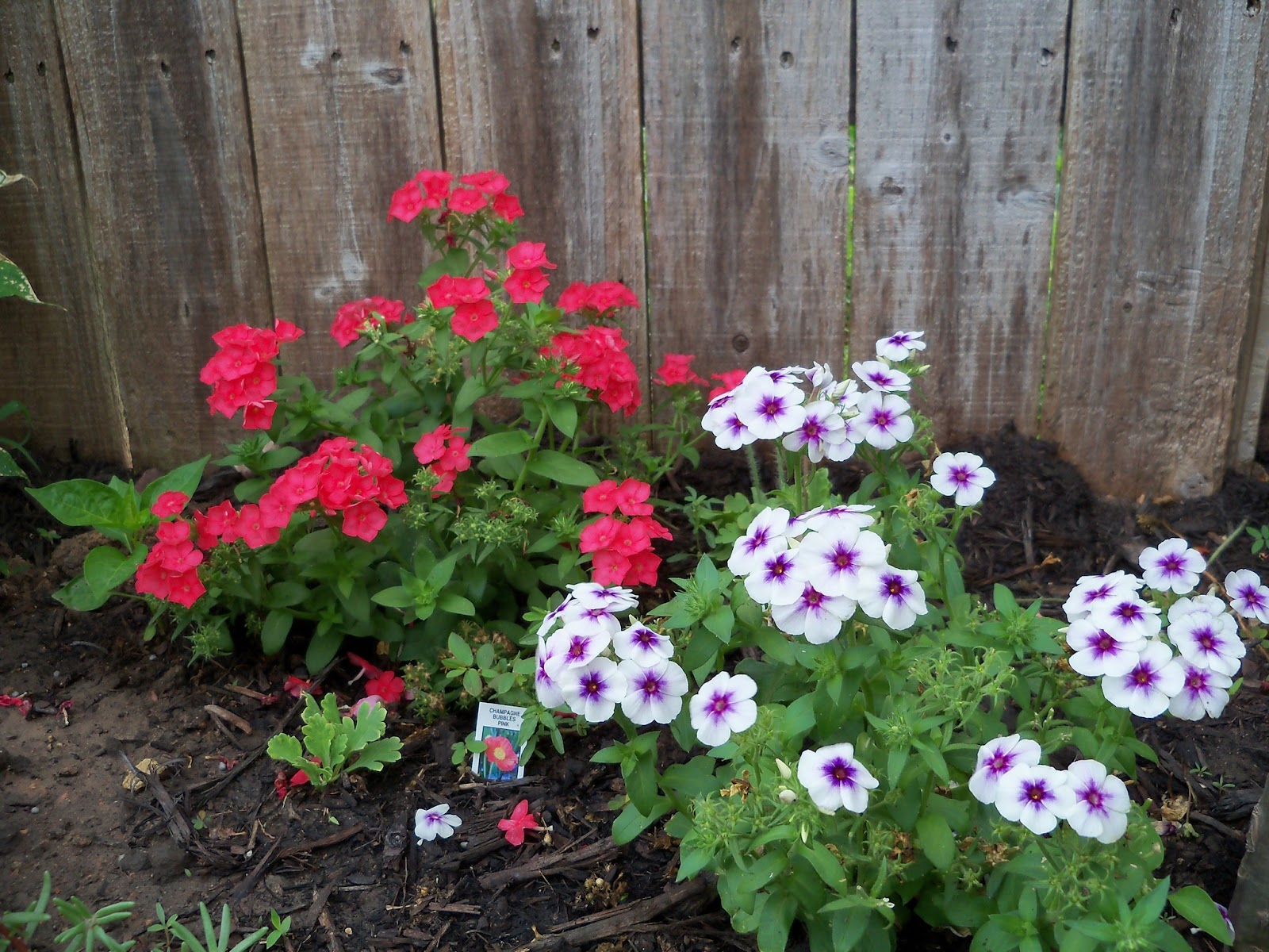 Gardening 2011 - 100_7598.JPG