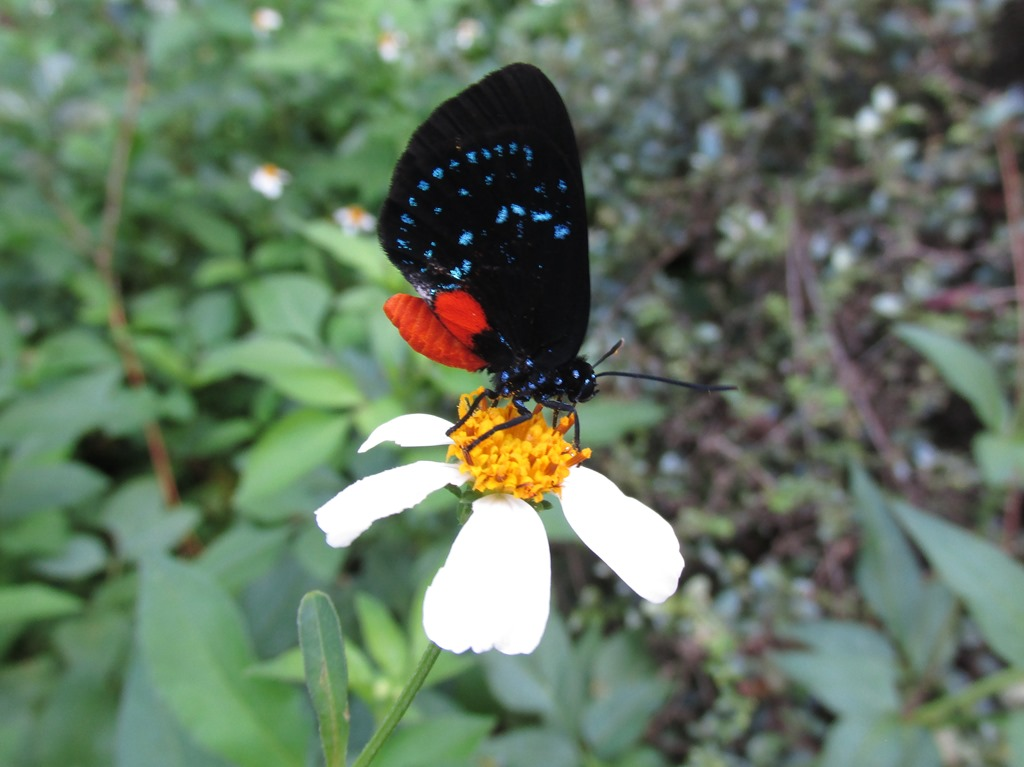[Atala+Butterfly+Insect+Bug+%289%29%5B6%5D]