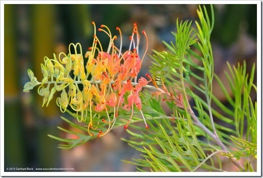 150422_Grevillea-Peaches-and-Cream_001