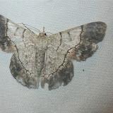Geometrinae : Pingasa grandidieri (BUTLER, 1879). Parc de Mantadia, 900 m (Madagascar), 30 décembre 2013. Photo : T. Laugier