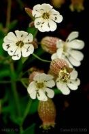 Silene Uniflora_2