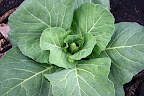 I love cabbage!