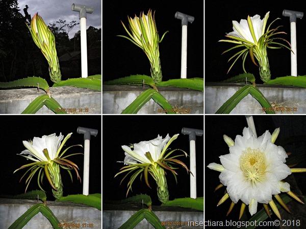 bunga buah naga 03