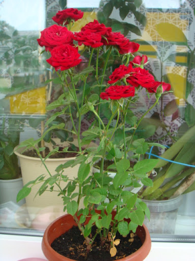 Розы в комнатной культуре - Страница 2 DSC05410