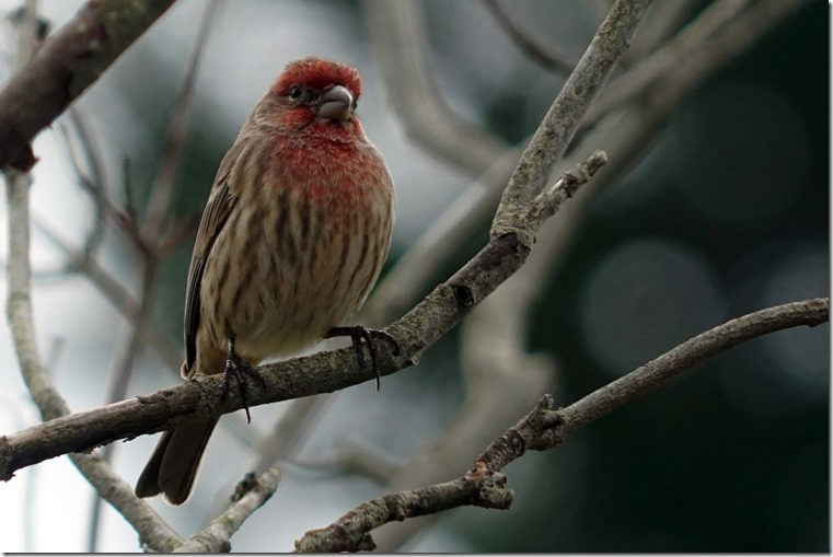 lopez house finch 110817 00003
