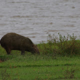 Capybara (Hydrochoerus hydrochaeris). Laguna Tinije, 186 m (Casanare, Colombie), 5 novembre 2015. Photo : J.-M. Gayman