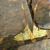 Saturniidae : Argema mittrei (GUÉRIN-MENEVILLE, 1846), endémique, mâle. Parc à papillons entre Andasibe et Tananarive (Madagascar), 1er janvier 2014. Photo : J. Marquet