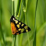 Arctiidae : Arctiinae : Arctia villica LINNAEUS, 1758. Hautes-Lisières (Rouvres, 28), 13 mai 2011. Photo : J.-M. Gayman