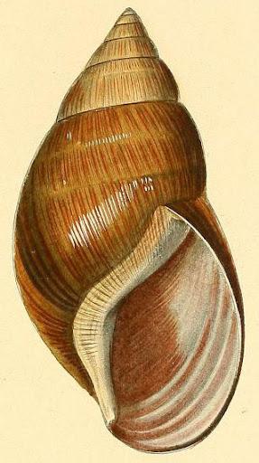 Achatina glutinosa Systematisches
