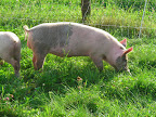 Pigs love clover!