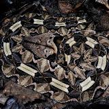 Bitis gabonica gabonica (Duméril, Bibron & Duméril, 1854). Ebogo (Cameroun), 26 avril 2013. Photo : Daniel Milan