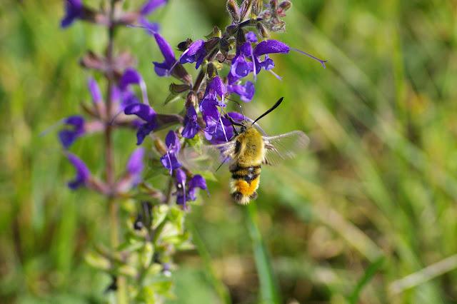 Sphingidae : Macroglossinae : Hemaris tityus (LINNAEUS, 1758). Hautes-Lisières (Rouvres, 28), 31 mai 2010. Photo : J.M. Gayman