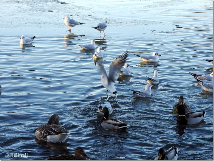 Gans Ente und Möwen (2)