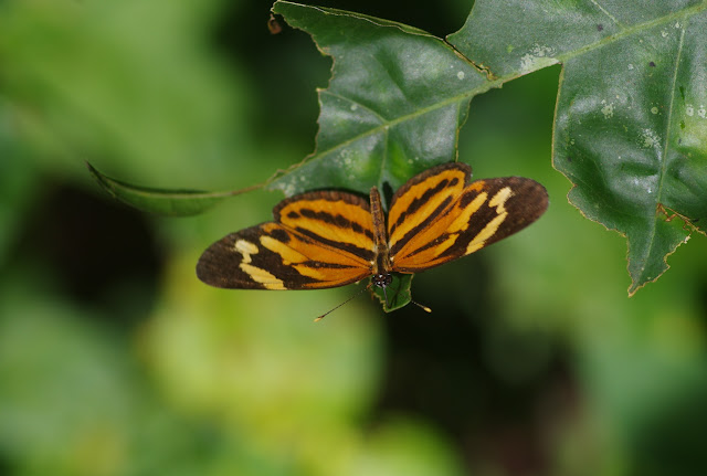 Eresia eunice drypetis Godman & Salvin, 1878. Bosque Bavaria (Villavicencio, Meta, Colombie), 9 novembre 2015. Photo : J.-M. Gayman