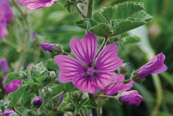 Μολόχα ένα αγαπημένο και πολύτιμο βότανο