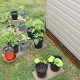 Gardening 2012 - IMG_3532.JPG