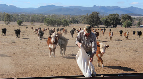Hungry cattle make their way across a barren paddock to the feeding trough as Maules Creek farmer Cliff Wallace supplies them with a meal of cottonseed and oats.