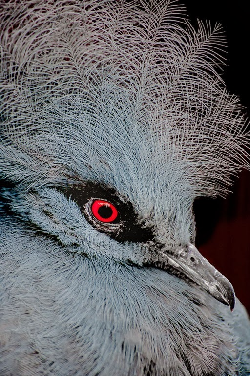 """Western Crown Pigeon"" by Liz Bumgarner -- 1st Place Digital Special A"