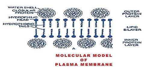 plasma-mambrane-cell mambrane (5)