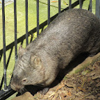 Newcastle - Blackbutt Reserve - Wombat