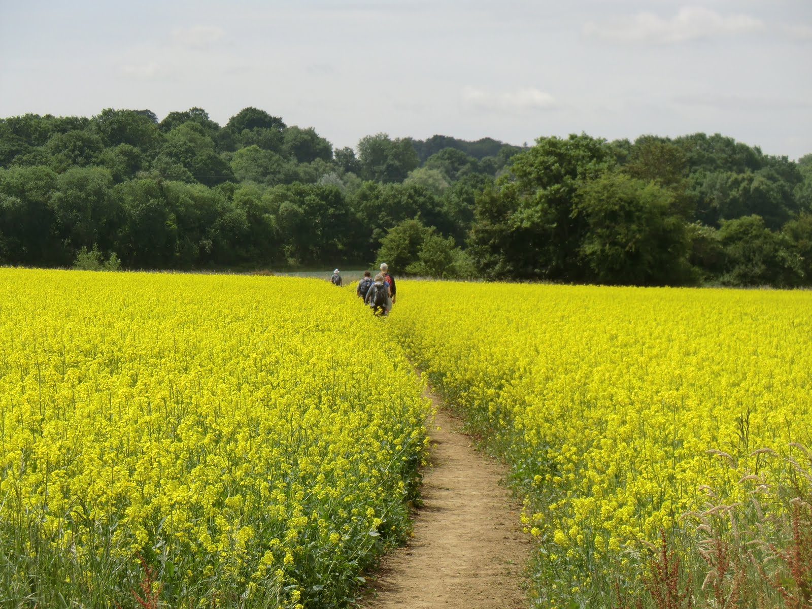 CIMG7314 Through a rape field in the Medway valley