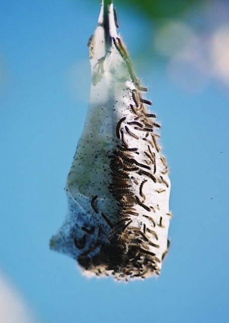 Insects - Canada - Caterpillars.jpg