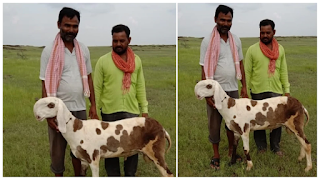 shocking-theft-of-16-lakh-goat-from-sangl
