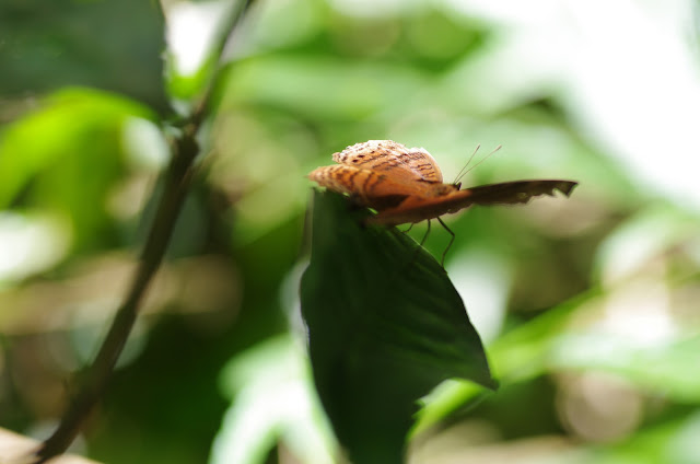 Junonia stygia AURIVILLIUS, 1894. Ebogo (Cameroun), 8 avril 2012. Photo : J.-M. Gayman