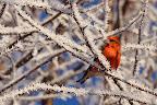 EN VOILA UN QUI PORTE BIEN SON NOM       Bec-croisé par un matin d'hiver