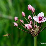 Сусак зонтичный (Butomus umbellatus)