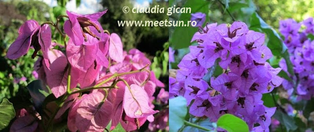 Roma. Flori exotice roz si mov, atarnatoare