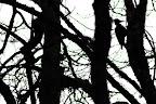 OMBRE CHINOISE   Pic noir, c'est sn nom !