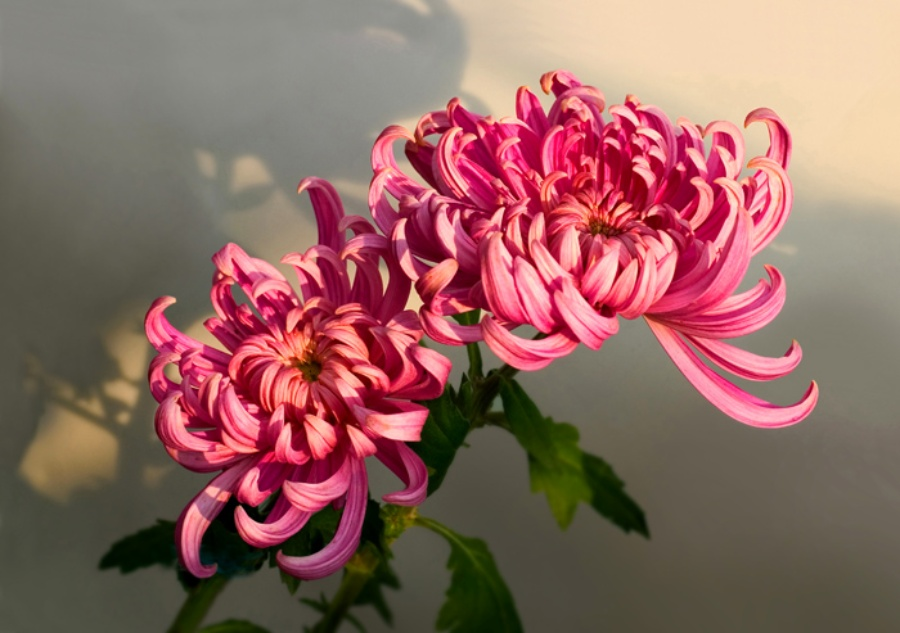 A chrysanthemum strengthens one's commitment toward a spiritual practice.