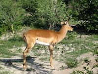 Impala - Linyanti Concession (Chobe Region)