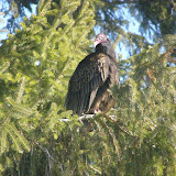 Turkey Vulture roosting in conifer in Peterborough neighbourhood