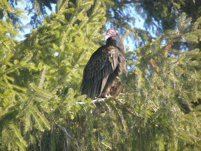 Turkey Vulture roosting in conifer in Peterborough neighbourhood