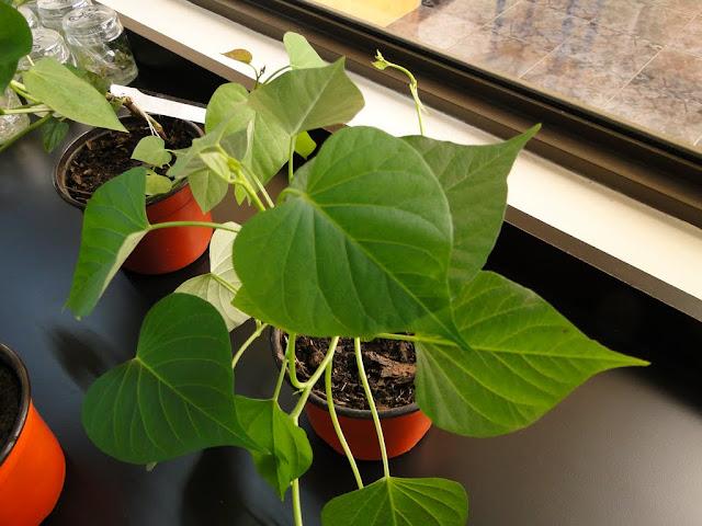 cultivo de meristemas para obtencion de batata libre de virus - 0026.JPG
