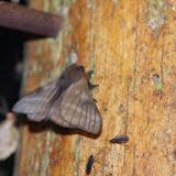 Hemileucinae : probablement Hylesia bouvereti DOGNIN, 1889. Los Cedros, 1400 m, Montagnes de Toisan, Cordillère de La Plata (Imbabura, Équateur), 18 novembre 2013. Photo : J.-M. Gayman