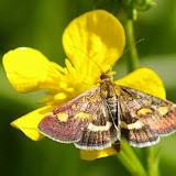 Crambidae : Pyraustinae : Pyrausta purpuralis (L., 1758). Hautes-Lisières (Rouvres, 28), 5 mai 2011. Photo : J.-M. Gayman