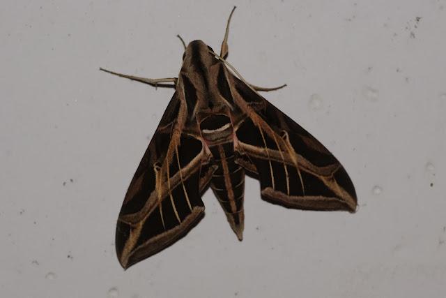 Sphingidae : Macroglossinae : Eumorpha fasciatus fasciatus (SULZER, 1776). El Limonal, 1000 m (Imbabura, Équateur), 23 novembre 2013. Photo : J-M. Gayman