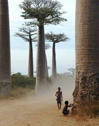 Children playing at the feet of massive Baobab trees in Madagascar.