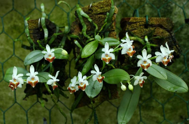 Phalaenopsis Sacha IMG_1146