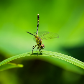 Odonata: Dragonfly by Rashedul Tarek - Animals Insects & Spiders ( natural light, dragon fly, nature, dream, nature up close, hemicordulia tau, tau emerald, tau emerald (hemicordulia tau), dragonfly, odonata, natural )