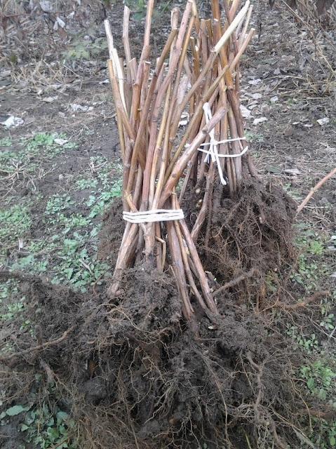 копане лопатою з плантації