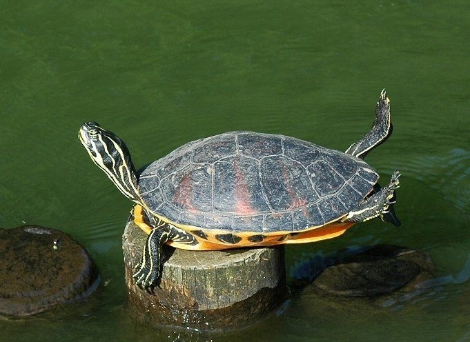 Planking Turtle