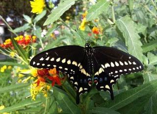 OLGC Garden Ministry 2014 - Swallowtail-necatring-on-milkweed-768x555.jpeg