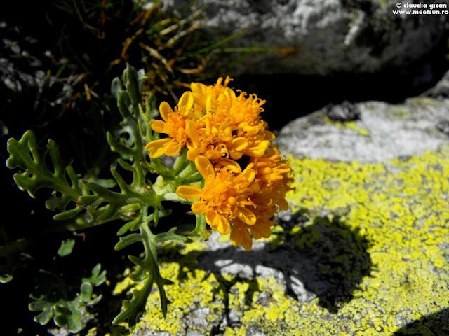 flori de munte galbene: Cruciuliță, spălăcioasă (Senecio incanus)