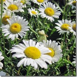 margaritas flores (45)