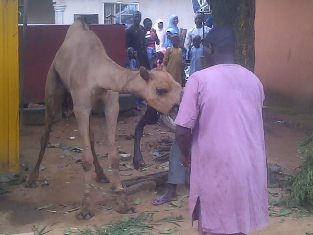 A camel slaughtered for sallah